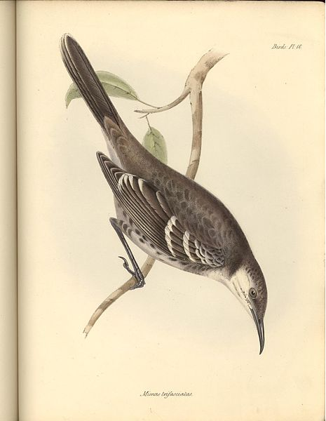 Floreana Mockingbird By John Gould via Wikimedia Commons