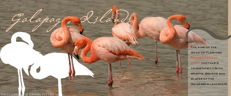 The pink of the Greater Flamingo, Phoenicopterus roseus, contrasts dramatcally with greens, browns and blacks of the Galapagos landscape.